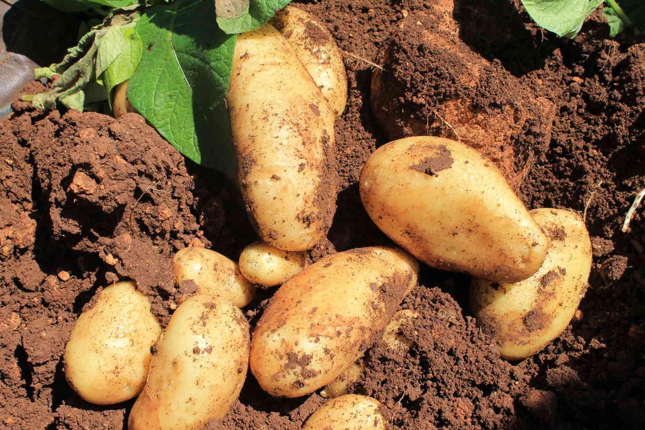 I prodotti selenella: la patata novella - Il Blog di Selenella