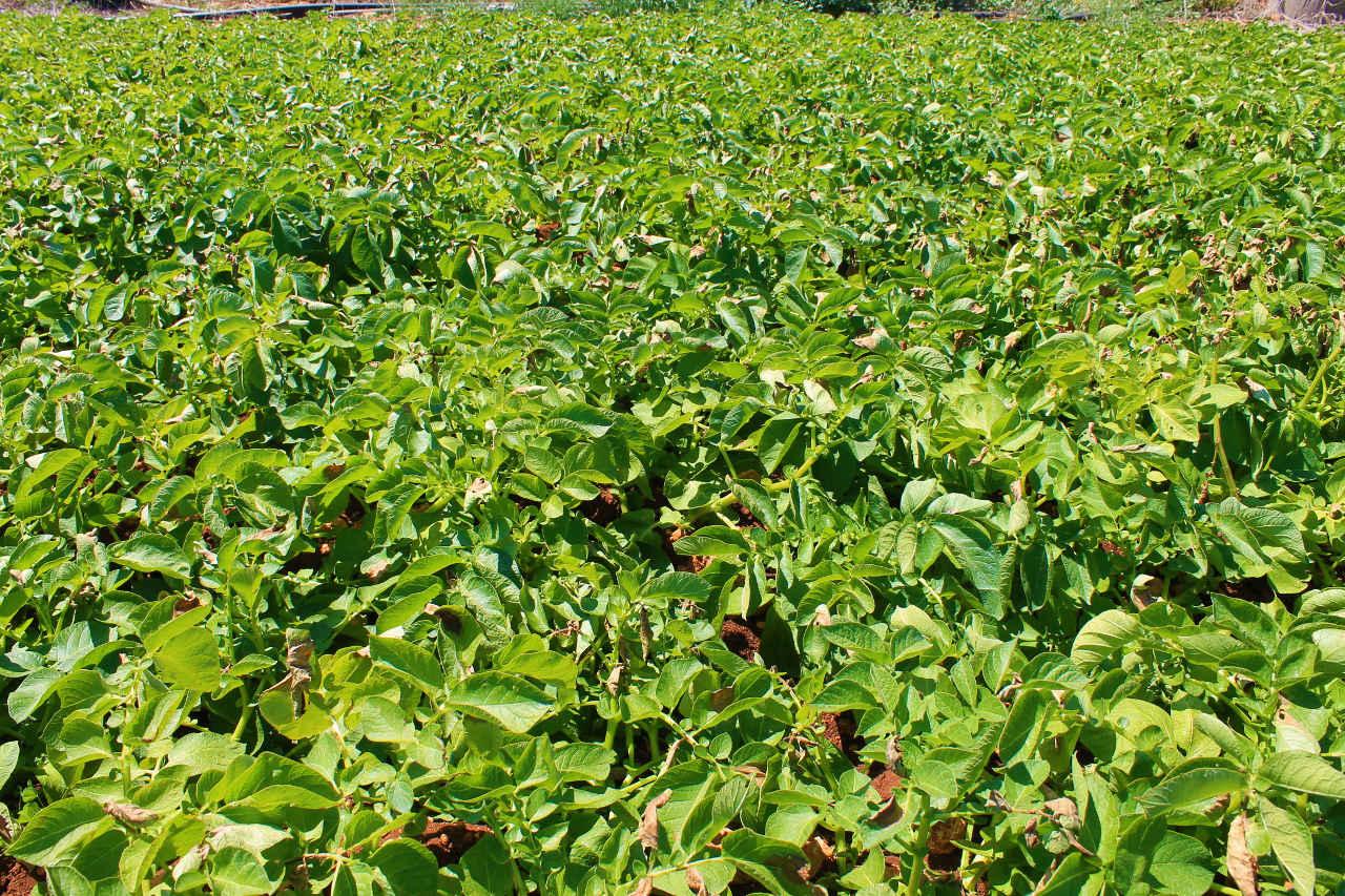 Qual è il periodo ideale per la semina delle patate? - Il Blog di Selenella