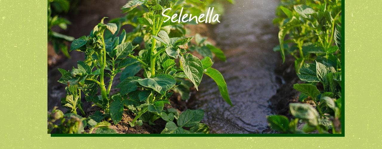 La coltivazione della patata a Bologna: una lunga storia - Il Blog di Selenella